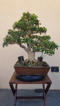 Ficus Benjamin - Pagina 2 20200711