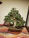 Ficus Benjamin 20200111