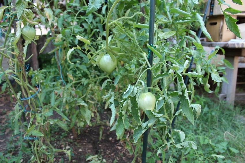 Les tomates... Tomate10
