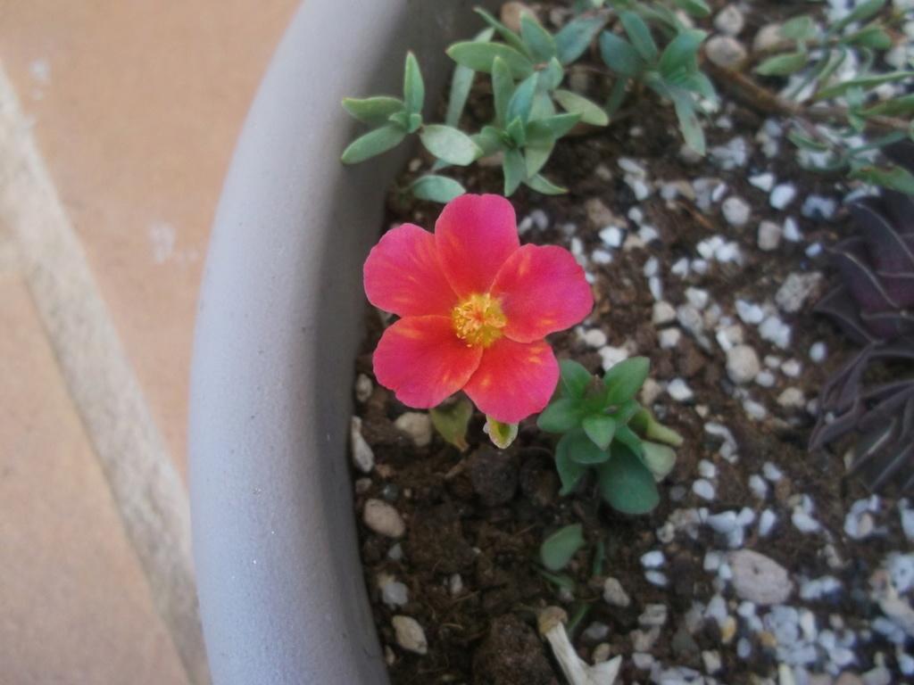 Portulaca grandiflora Dscf6848
