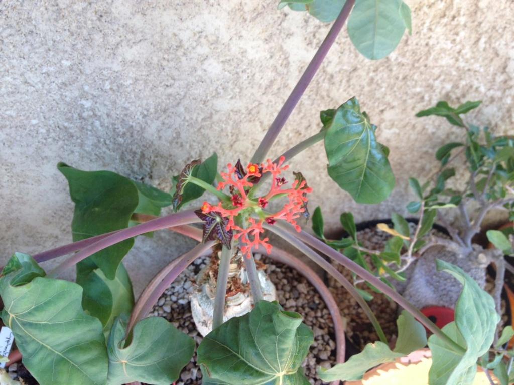 Jatropha podagrica - Page 14 File1-11