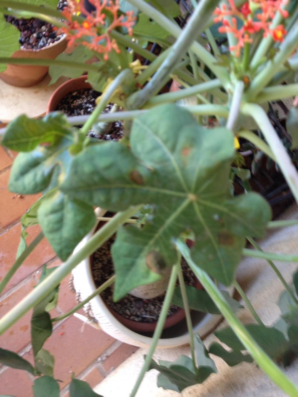 Jatropha podagrica - Page 14 File2-12