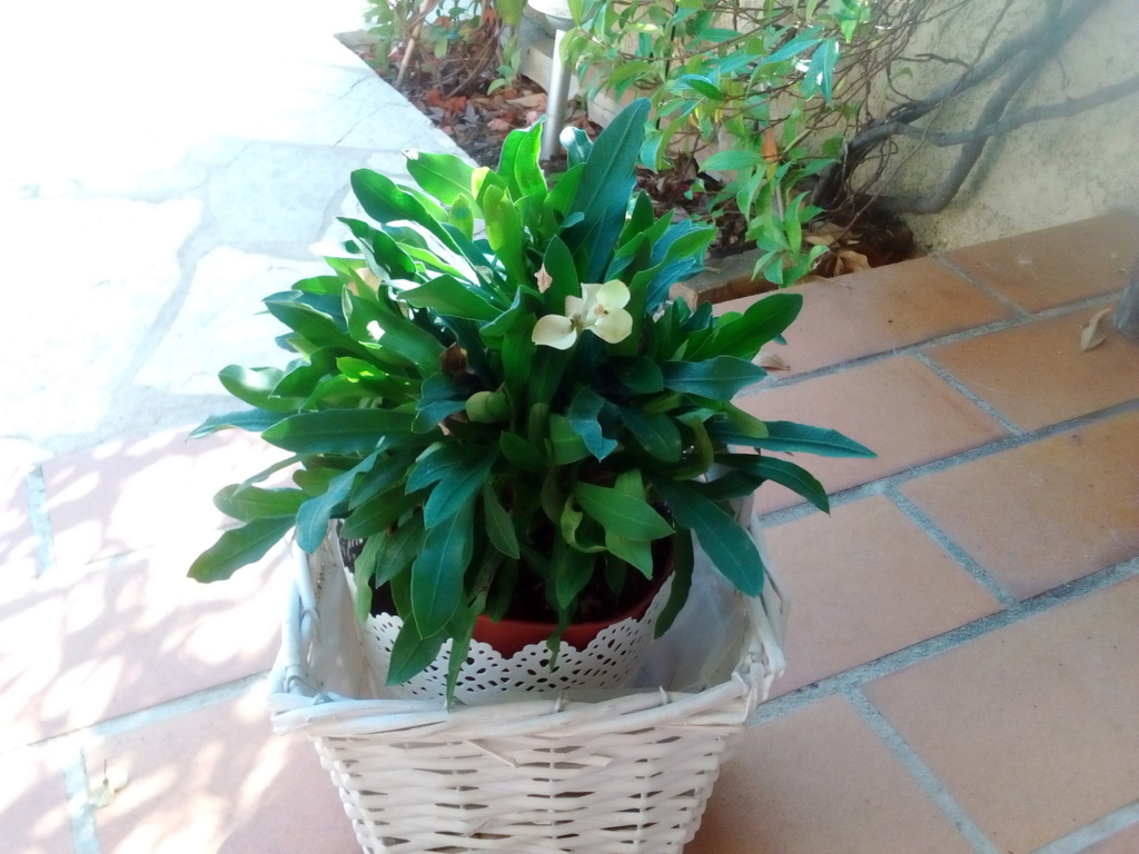 Euphorbia leuconeura Img_2012