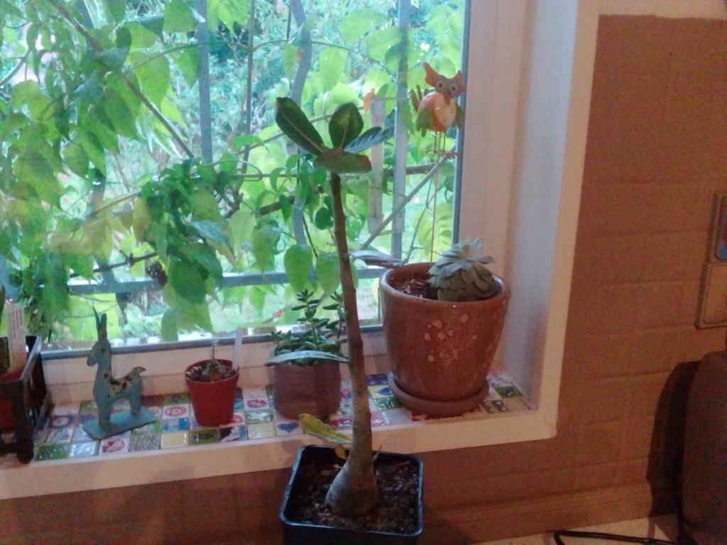 Quel hiver pour mes succulentes ? Img_2044