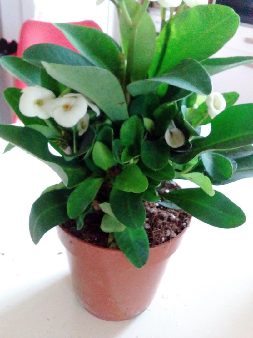 Euphorbia sp nova Madagascar - Page 2 Img_2057