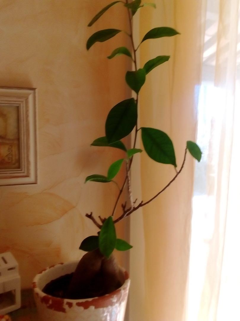 Ficus Ginseng Img_2086