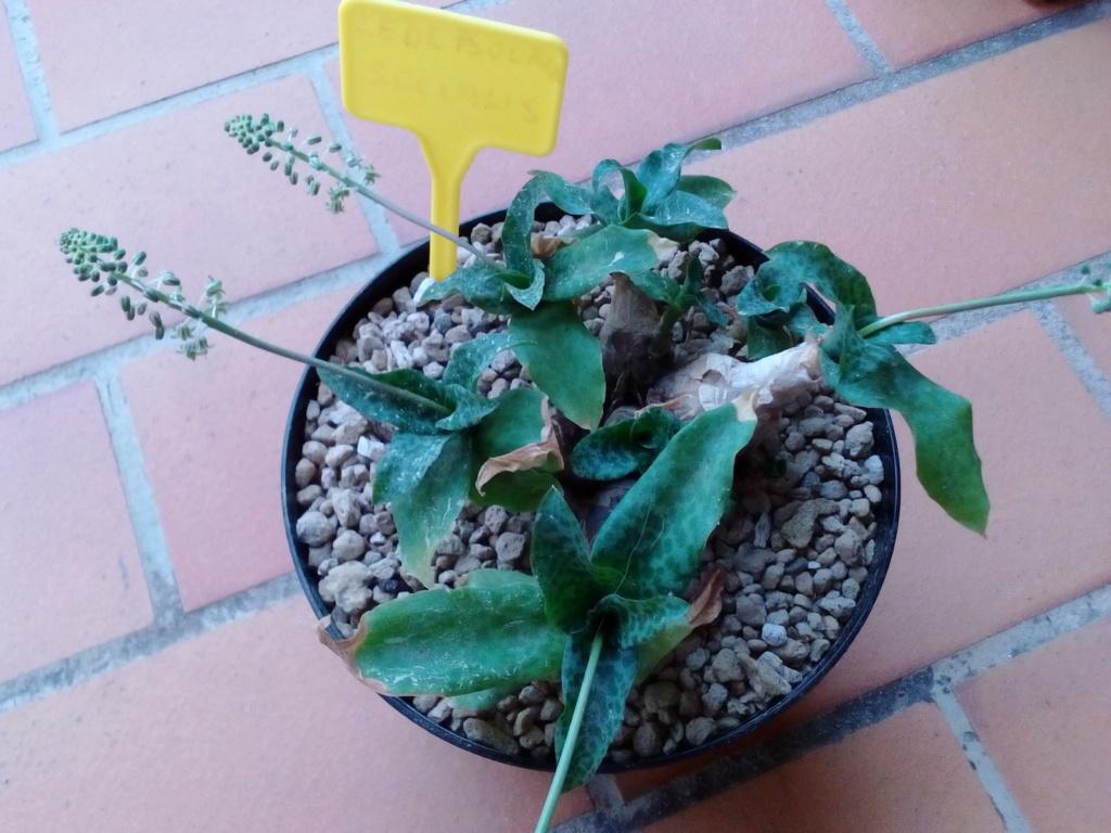Scilla violacea/Ledebouria socialis Img_2292