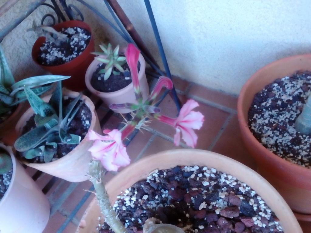 Pachypodium succulentum  - Page 12 Img_2355