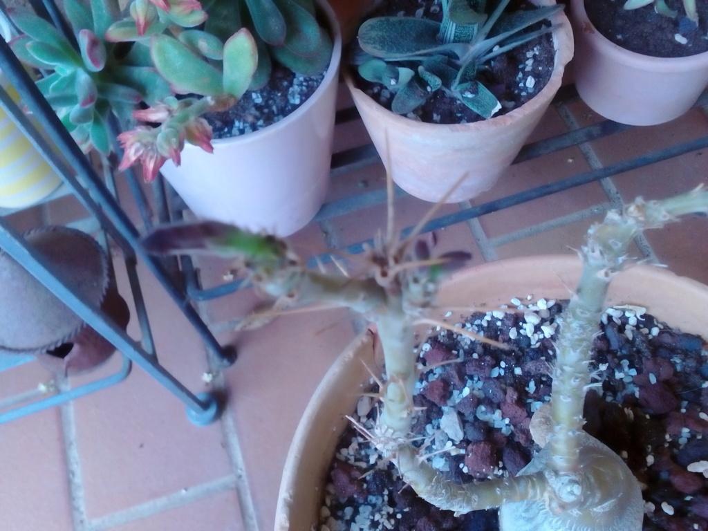 Pachypodium succulentum  - Page 12 Img_2356