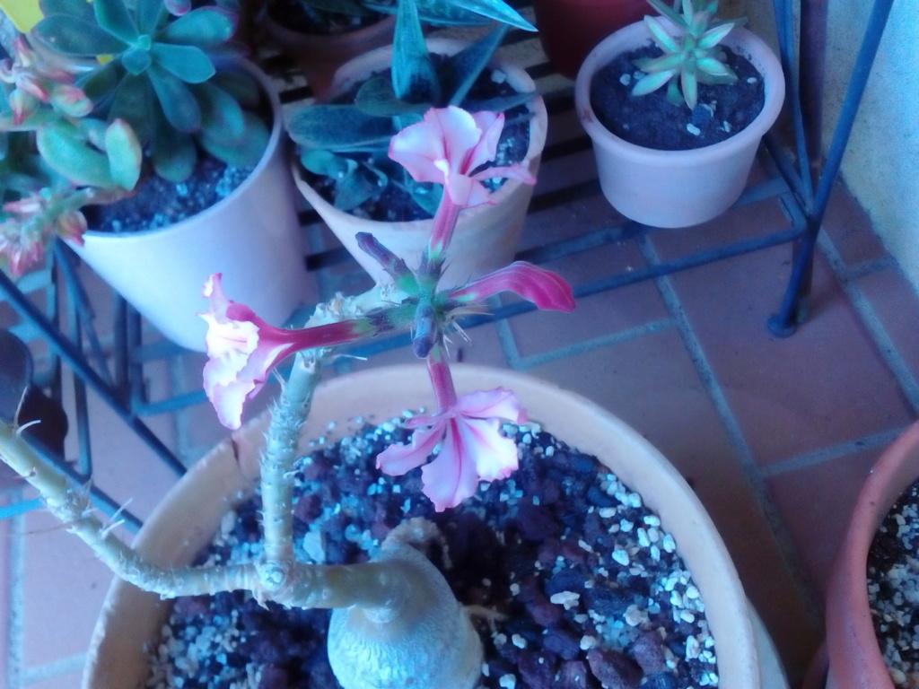 Pachypodium succulentum  - Page 12 Img_2357