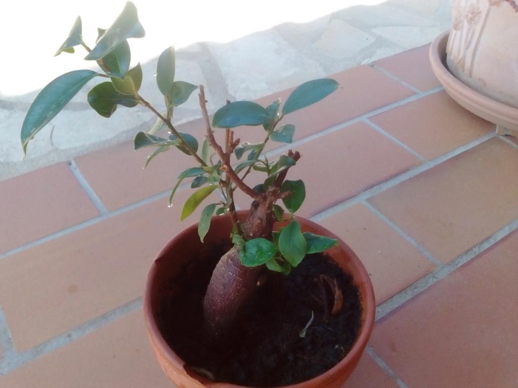 Ficus Ginseng Img_2416
