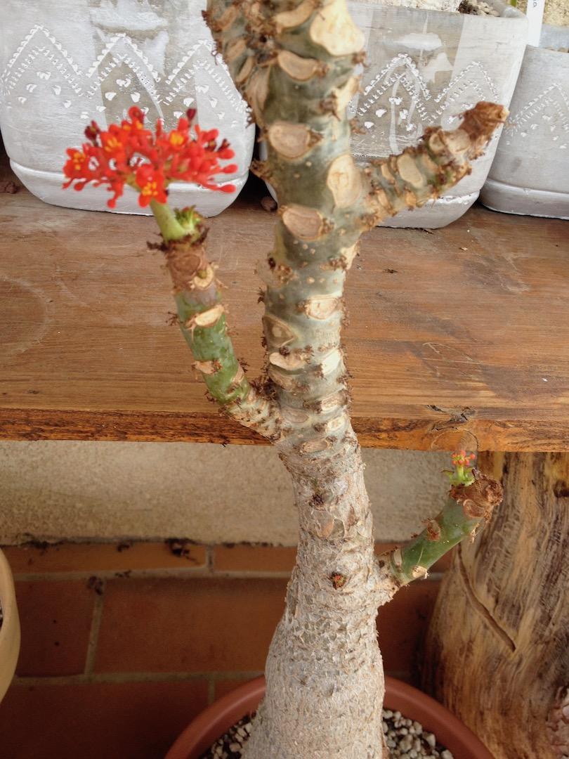 Jatropha podagrica - Page 22 Img_3919