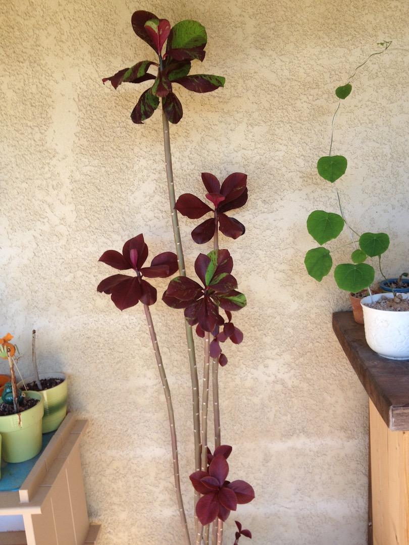 Euphorbia umbellata cv. Rubra/Synadenium grantii f. rubrum Img_3944