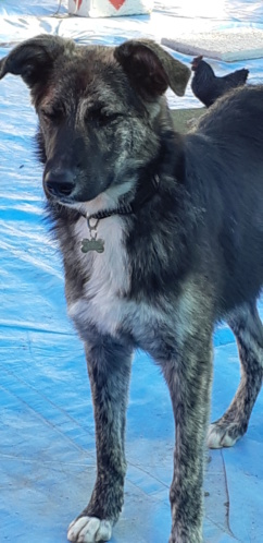 Kora - femelle - refuge de Arad - réservée adoption (68) 20181019