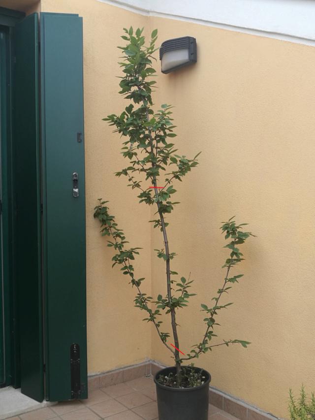 Carpino da vivaio, margotte per ottenere pre-bonsai? Carpin11