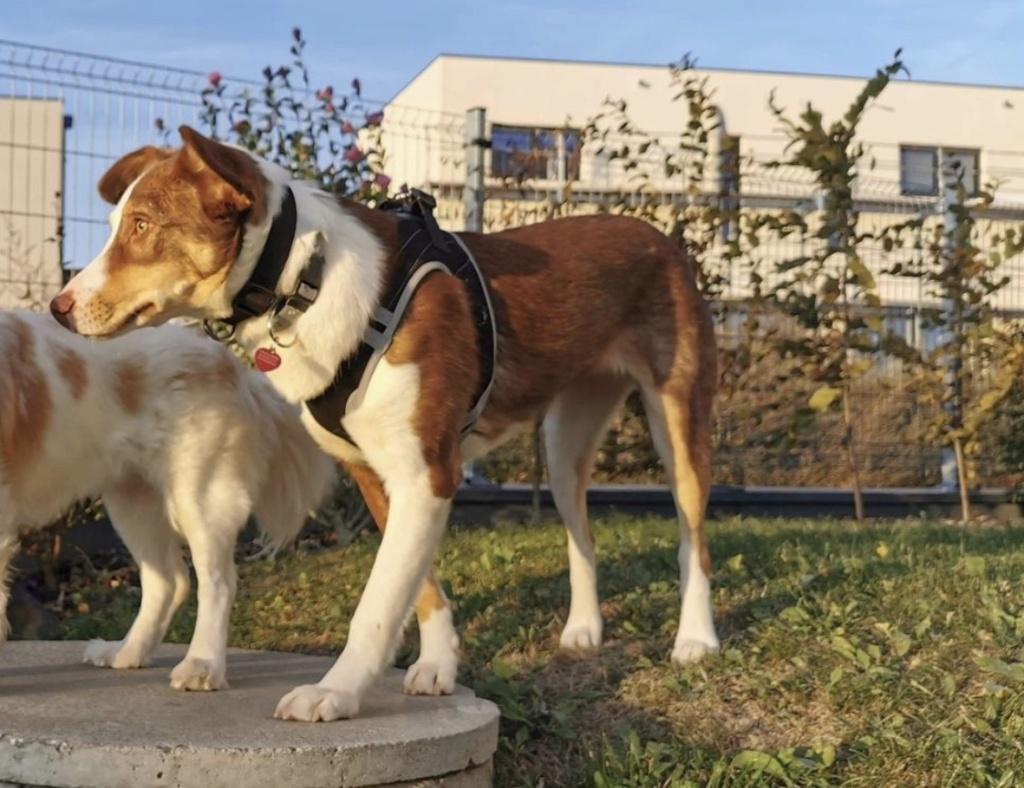 Maya - femelle - fourrière de Târgu Frumos - en famille d'accueil dans le 67 - réservée adoption (68) Fad1ce10