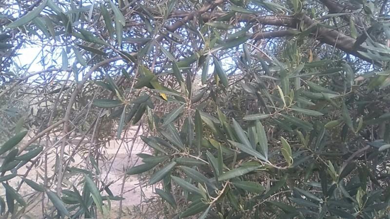 Ayuda con olivar en año OFF (Jaén) 20190310