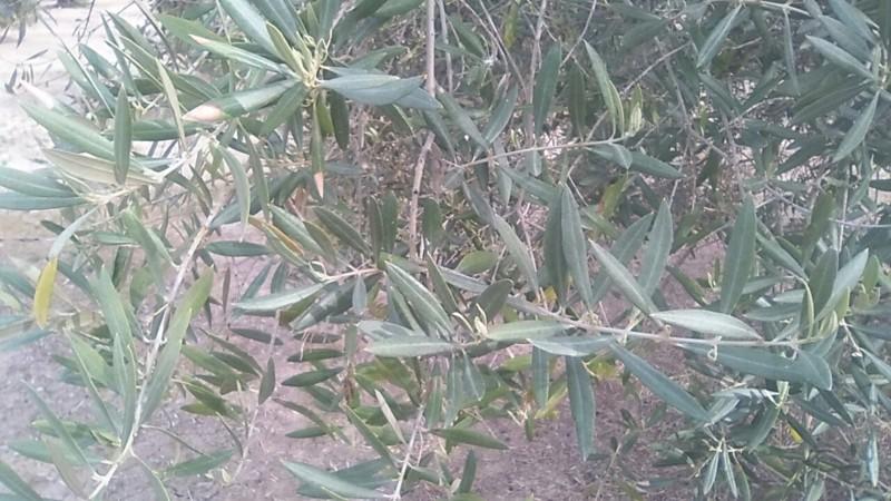 Ayuda con olivar en año OFF (Jaén) 20190311