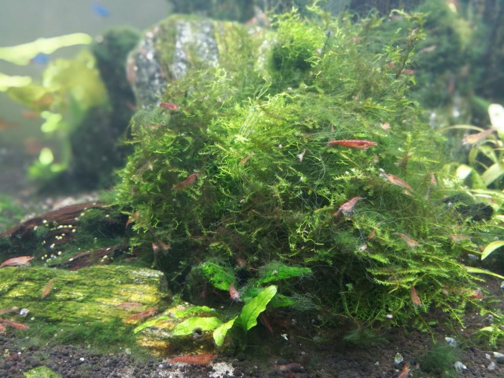 Algues filamenteuses, pinceau, plantes qui ne poussent plus. Img_2037
