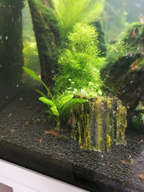 Algues filamenteuses, pinceau, plantes qui ne poussent plus. Img_2040