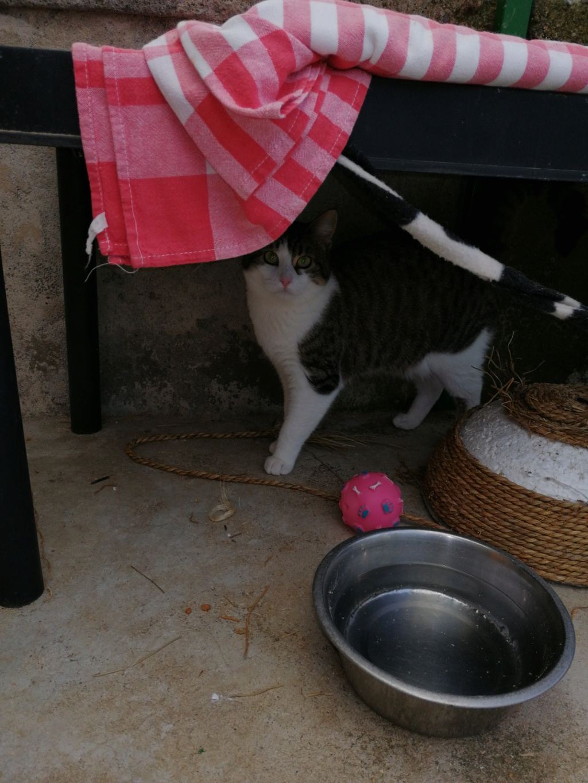 VENUS (chaton femelle tigrée et blanche) Img_2033