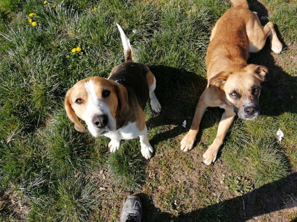 GOMETTE  (femelle croise beagle) Img_2131