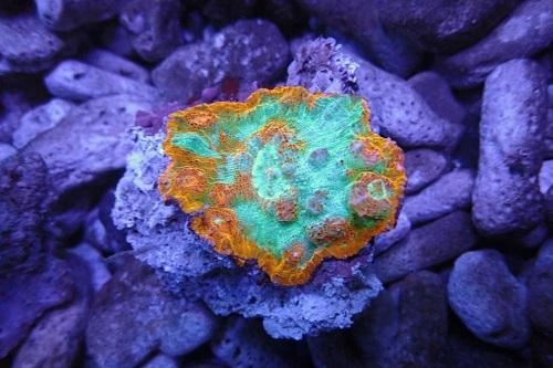 Stock coral masuk PACIFIC REEF 3 January 2020 1_1211
