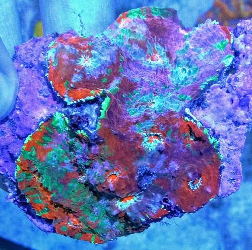 Stock coral masuk PACIFIC REEF 3 January 2020 1_211
