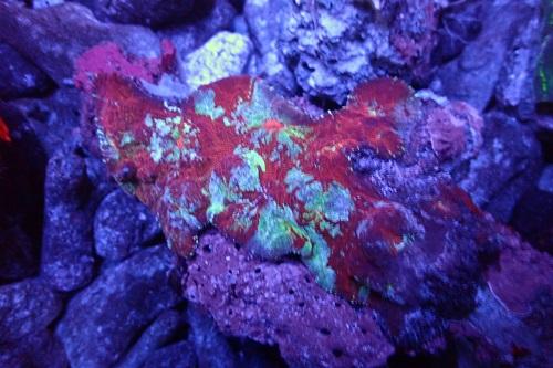 Stock coral masuk PACIFIC REEF 3 January 2020 1_411