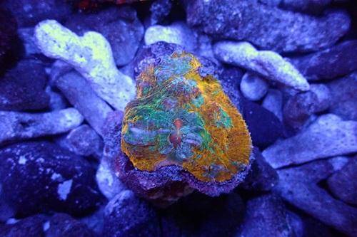 Stock coral masuk PACIFIC REEF 3 January 2020 1_611