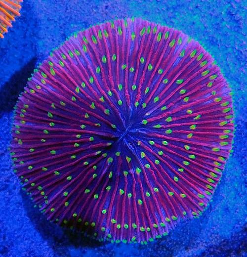 Stok coral masuk Pacific reef 30 January 2020 Img-2018