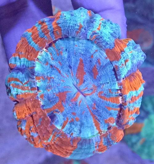 Stok coral masuk Pacific reef 13 september 2019 Img20118