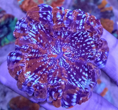 Stok coral masuk Pacific reef 13 september 2019 Img20120