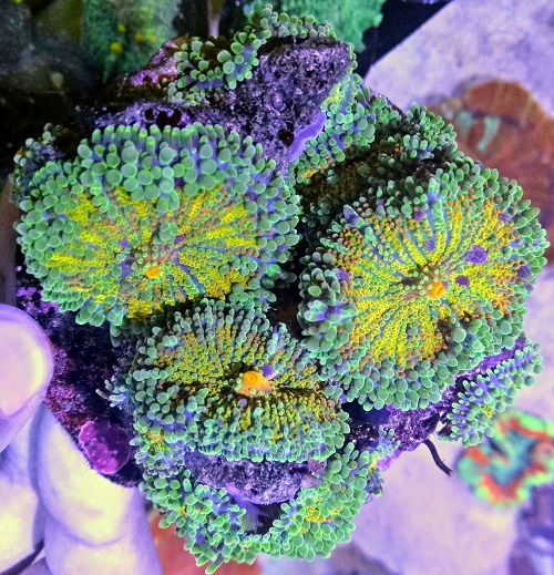 Stok coral masuk Pacific reef 27 september 2019 Img20124