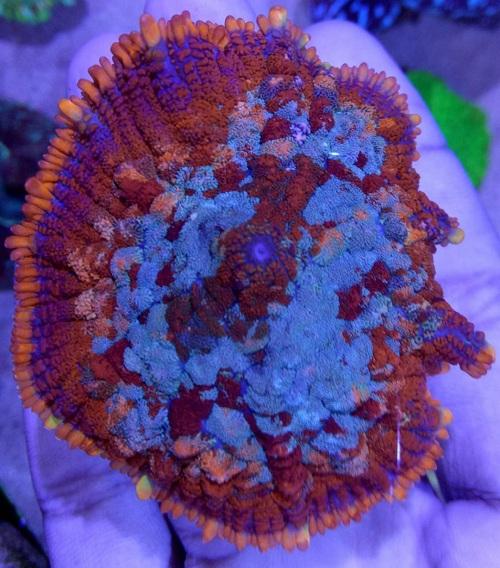 Stok coral masuk Pacific reef 3 september 2019 Thumbn13