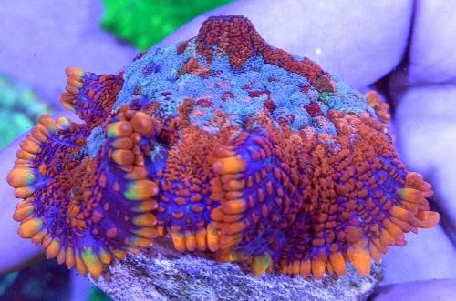 Stok coral masuk Pacific reef 3 september 2019 Thumbn16