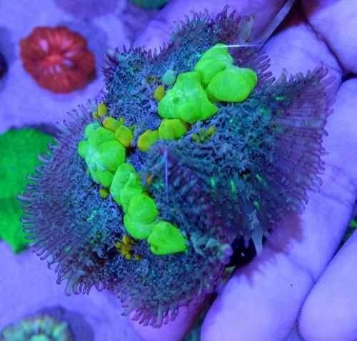 Stok coral masuk Pacific reef 5 september 2019 Thumbn19