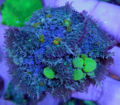 Stok coral masuk Pacific reef 5 september 2019 Thumbn20