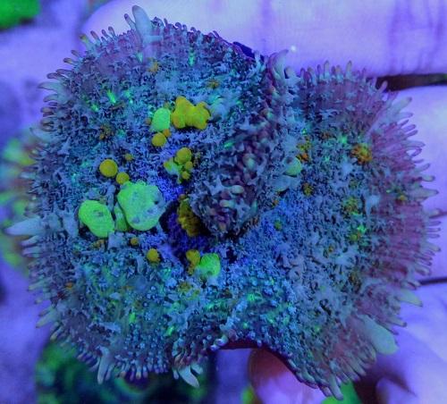 Stok coral masuk Pacific reef 5 september 2019 Thumbn21