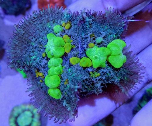 Stok coral masuk Pacific reef 5 september 2019 Thumbn24