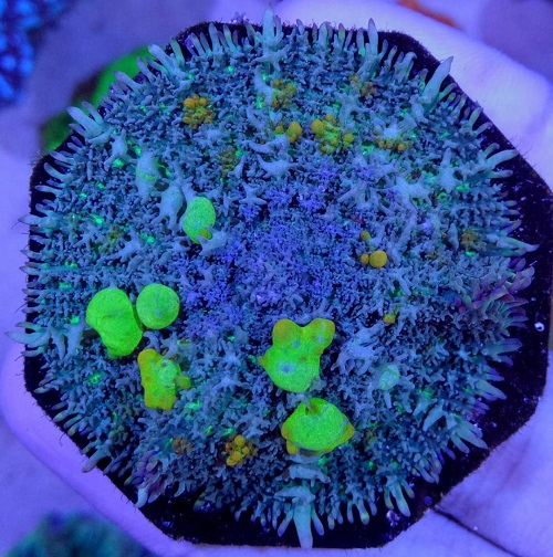 Stok coral masuk Pacific reef 5 september 2019 Thumbn26