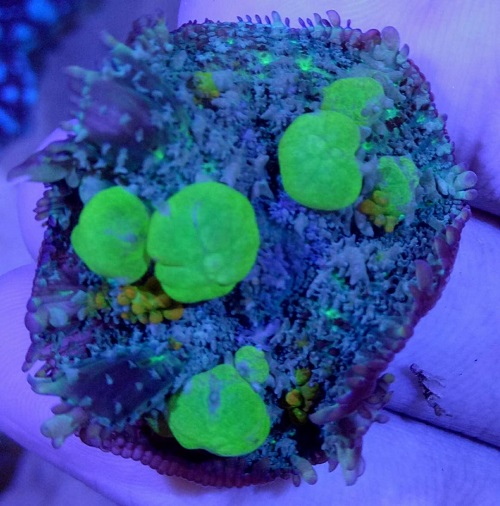 Stok coral masuk Pacific reef 5 september 2019 Thumbn27