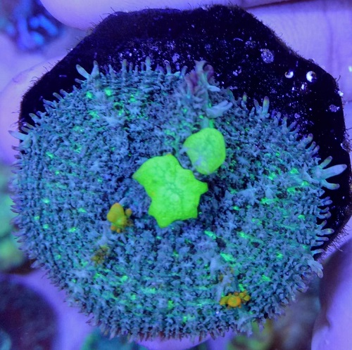 Stok coral masuk Pacific reef 5 september 2019 Thumbn28