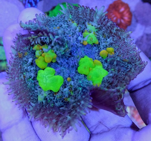 Stok coral masuk Pacific reef 5 september 2019 Thumbn29