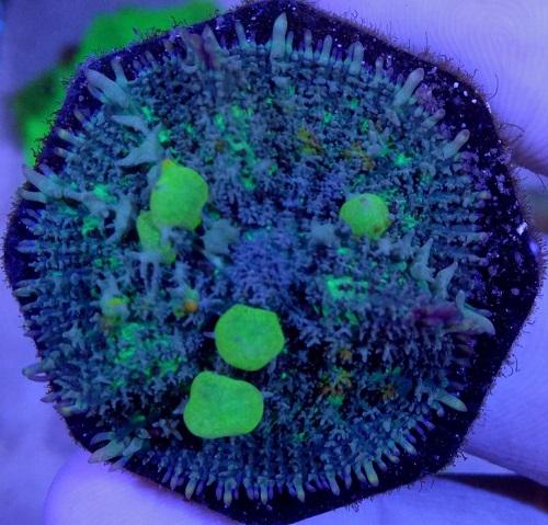 Stok coral masuk Pacific reef 5 september 2019 Thumbn30