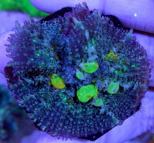 Stok coral masuk Pacific reef 5 september 2019 Thumbn32