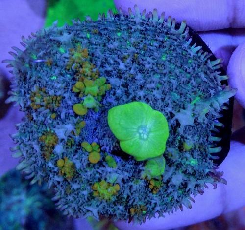 Stok coral masuk Pacific reef 5 september 2019 Thumbn33
