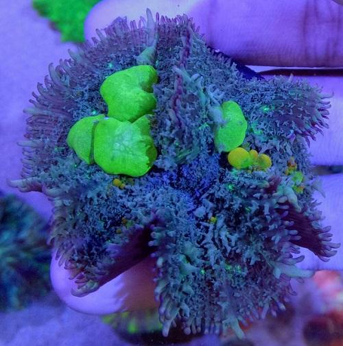 Stok coral masuk Pacific reef 5 september 2019 Thumbn35