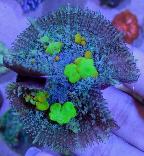 Stok coral masuk Pacific reef 5 september 2019 Thumbn36