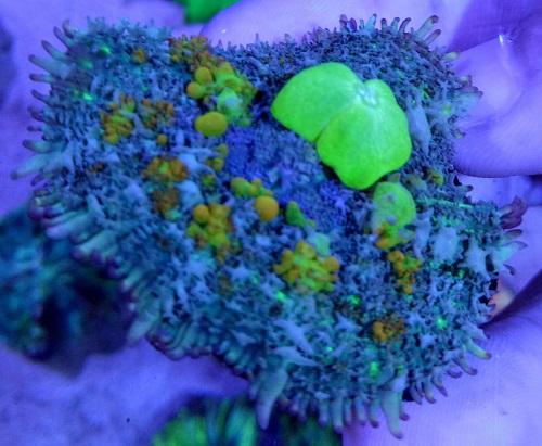 Stok coral masuk Pacific reef 5 september 2019 Thumbn37
